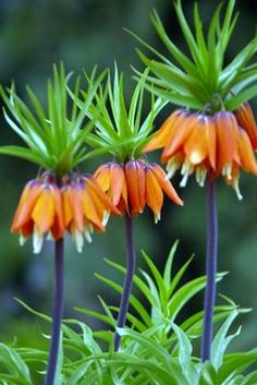 crown imperial......looks like carrots!