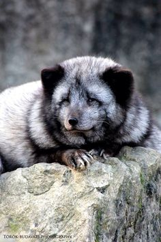 #animal #wild #park #spring #natur Wild Park, Panda Bear, Foxes, Spring, Photography, Animals, Photograph, Animales, Animaux