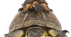 O que cágados comem. Cágados são tartarugas pequenas que habitam pântanos e áreas de água doce. Na natureza, os cágados geralmente se alimentam só de presas vivas, sua dieta compõe-se principalmente de peixes, insetos e outros animais pequenos. No entanto, quando esses répteis são mantidos como animais de estimação, há vários tipos de alimentos que podem ser ...