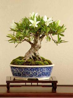 mame bonsai | Mame bonsai - Página 3 - Foro de InfoJardín