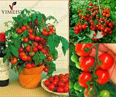 Bonsai Tomato seeds Mini Potted Sweet Cherry Tomatoes Organic Fruit Vegetable seeds Potted  Dwarf Tomato plant Seeds 50pcs/bag
