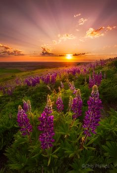 Magical sunrise Magical sunrise at river country. Vietnam Lavender Light Crepuscular rays and spring wildflowers in the Palouse country of. Beautiful Sunset, Beautiful World, Beautiful Places, Beautiful Morning, Beautiful Gorgeous, Absolutely Gorgeous, Amazing Places, Nature Landscape, Sunset Landscape