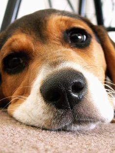 Beagle sweetness...