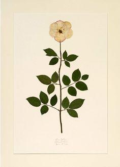 Lauren Lachance botanical