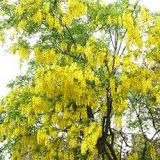 Laburnum watereri Vossi  goudenregen.  kleine boom, halfstam. goudgele bloementrossen licht geurend, doet het goed op doorlatende voedzame grond. verkrijgbaar van 1oktober tot eind april.