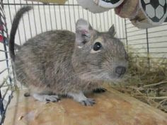 Riley, Degu, 1 Year, Great Ayton Animal Centre Degu, Just Amazing, 1 Year, Animals And Pets, Animal Rescue, Centre, Adoption, Weird, Detail