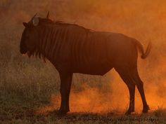 Wild Wings Safari offers unforgettable scheduled Kruger Park Safaris: 4 or - or you can custom your own. Expert, knowledgeable guides, open safari vehicles, overnight in Kruger itself for a real African safari experience. Dawn And Dusk, African Safari, Sunsets, Silhouettes, Lion, Wildlife, Park, Pictures, Inspiration