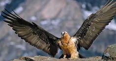 http://www.animalesenextincion.es/fotos-de-animales/El-Quebrantahuesos.jpg