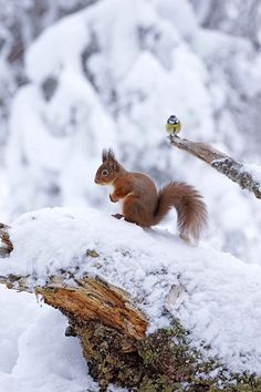 Red squirrel and blue tit in snow, Rothiemurchus Forest near Aviemore, Scotland