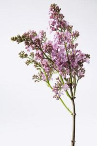 Great information on transplanting lilac shoots.