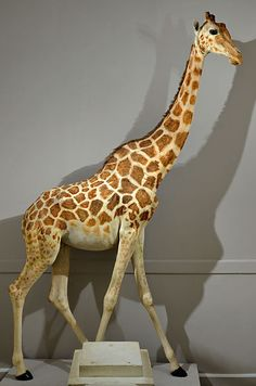 2013 photo of La Girafe in the Natural History Museum of La Rochelle, France, which appears in the 2013 edition of Giraffe that Walked to Paris. Photo by Stéphane Mahot.