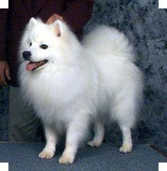American Eskimo; I miss mine! :(