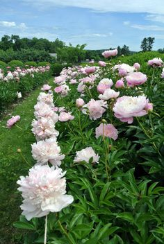 My herbaceous peony garden is blooming with brilliant pinks and whites! One of the most anticipated sights on the farm is my herbaceous peony garden in full Beautiful Rose Flowers, Wild Flowers, Beautiful Flowers, Cut Flower Garden, Flower Farm, Amazing Gardens, Beautiful Gardens, Blossom Garden, Peonies Garden