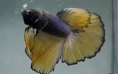 live Tropical Fish-mustard gold  halfmoon betta I4