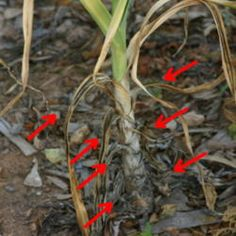 When Is the Right Time To Harvest Garlic?  This must be softneck garlic, but good explanation about the lower leaves.
