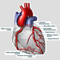 arteries of heart anatomy Cath Lab Nurse, Coronary Circulation, Arteries Anatomy, Cardiothoracic Surgery, Heart Anatomy, Medical Anatomy, Cardiac Anatomy, Cardiac Nursing, Human Anatomy And Physiology
