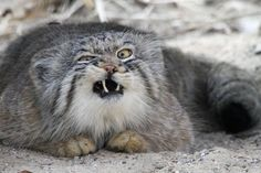 pallas cat derp