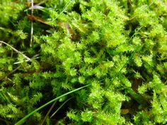 Rhytidiadelphus squarrosus (Springy turf-moss) – often regarded as a pest in lawns. Journal of #Bryology - Journal of the Month February 2012.