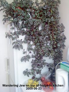 Wandering Jew : Grows on You House Plants Hanging, Hanging Plants Outdoor, Cactus House Plants, Indoor Plants, Growing Succulents, Planting Succulents, Planting Flowers, Wondering Jew Plant, Wandering Jew