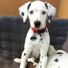 Aren't you grown up to be a cutie pie.  Credit to @doryandhugo by dalmatians_of_instagram #lacyandpaws