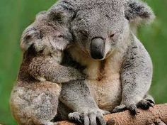 Can we have our cake and eat it, or will offsetting cost our natural heritage? Koalas or coal; nature or one-off profits; short-term gain or things of wonder for our grandkids? These are the choices... https://independentaustralia.net/business/business-display/koalas-for-coal-has-it-come-to-this-in-nsw,7745