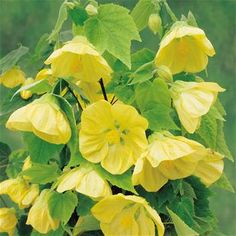 Abutilon golden Julia - 1 shrub