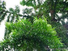 Klinki o araucaria espinosa (Araucaria hunsteinii). Hotel Bougainvillea, Santo Domingo de Heredia, Costa Rica.