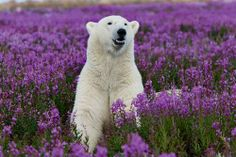 polar bear in spring . I like the color contrast. The polar bear out of his element is terrific Beautiful Creatures, Animals Beautiful, Hello Beautiful, Beautiful Life, Baby Animals, Cute Animals, Wild Animals, Cute Bear, All Gods Creatures