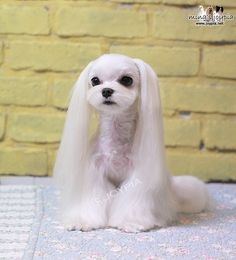 Korean Dog Grooming Style — Maltezer. Someone let me do this to their dog please!