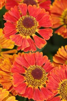 "Helenium autumnale Mariachi™ 'Salsa' - 18-20"" Fall color, rabbit repellent"