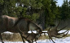 http://ichef.bbci.co.uk/naturelibrary/images/ic/credit/640x395/i/ir/irish_elk/irish_elk_1.jpg