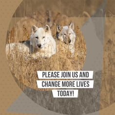 Join Us and Change More Lives Today by sharing this video with your friends and family. Wild Animal Rescue, Wild Animal Sanctuary, Gif Of The Day, Lions, Change, Friends, Animals, Amigos, Lion