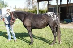 Misty is an adoptable Appaloosa Horse in Monroe, WA. Misty is a 4 year old Appaloosa mare that came to our rescue from an animal control seizure in Pierce County. Misty is currently about 15h, and is ...