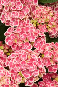Buttons 'N Bows 'Monrey' Hydrangea has deep pink, mophead-type flowers edged in white. Use it in containers, woodland gardens or in the foreground of borders. It needs filtered sun, constantly moist soil and is hardy in zones 7 to 9.
