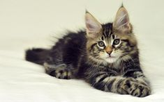 Maine Coon Cat Wallpapers 3