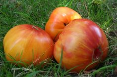 Tomate Ananas - Très beaux fruits à chair jaune orangée striée de rouge, savoureuse et ferme, contenant peu de graines.