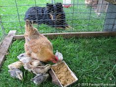 We currently have 3 mama hens with 14 chicks in 3 little portable pens - all kept safe by stock dog Lucky Buddy Bear. One of 22 photos in this week's Friday Farm Fix, a new series on Farmgirl Fare where I share a random sampling of what's been happening during the week. :)