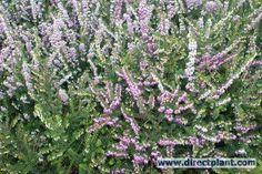 Rose Winterheide (Erica darleyensis 'Ghost Hills')