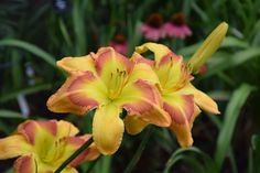 """'Get'R Done' Gossard-R., 2006. $20 DF. height 34"""", bloom 9"""", season M, Rebloom, Dormant, Tetraploid, Fragrant, 28 buds, 4 branches, Peachy pink with darker eye above green throat.  When used to hybridize, it stretches the look of the other parent. Think 'silly putty.' Bright, fun blooms, good garden plant. HM 2010"""