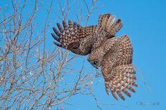 Source: Flickr / christinaanne_m  #great grey owl