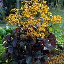 LIGULARIA den. 'Osiris Café Noir' - Nøkketunge, farve: gul/brune blade, lysforhold: sol/halvskygge, højde: 45 cm, blomstring: juli - august.