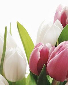 Il buongiorno si vede dal mattino con dei bei tulipani
