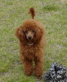 Image detail for -Toy Poodle Differences? - All About Dog Breeds - Dog Forums - I-Love ...
