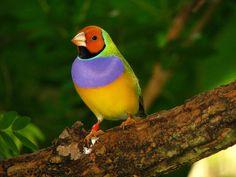 Lady Gouldian Finch - Butterfly World, Coconut Creek, FL