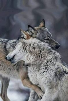 Wolf Photos, Wolf Pictures, Animal Pictures, Pictures Images, Nature Animals, Animals And Pets, Funny Animals, Wild Animals, Cute Animals Images