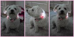 Oscar looks cool in his collar from Head-Lites.  Says the laaaaadies dig the pink color.