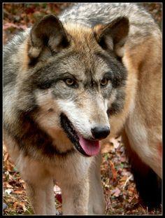 A super cute wolf :3