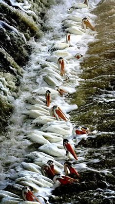 "A ""Squadron"" of Pelicans."