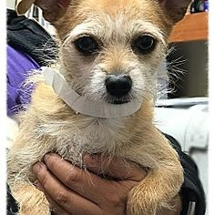 Los Alamitos, California - Terrier (Unknown Type, Small). Meet Ginger 7, a for adoption. https://www.adoptapet.com/pet/19987703-los-alamitos-california-terrier-unknown-type-small-mix