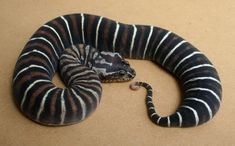 so crazy scale-less death adder